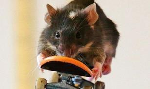Skateboarding rat
